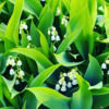 lilacs_lilies